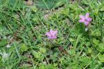 Reiherschnabel (Erodium cicutarium)
